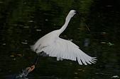 白鷺鷥與夜鷺及黃頭鷺:IMGP6059-11.jpg