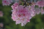 春櫻:IMGP3314-11.jpg