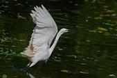白鷺鷥與夜鷺及黃頭鷺:IMGP5511-1.jpg
