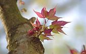 紅葉樹:IMGP9442-11.jpg