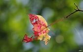 紅葉樹:IMGP2819-1.jpg