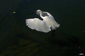 白鷺鷥與夜鷺及黃頭鷺:IMGP1292-11.jpg