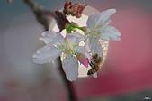 春櫻:IMGP3335-11.jpg