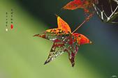紅葉樹:IMGP4568-11.jpg