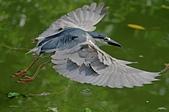 白鷺鷥與夜鷺及黃頭鷺:IMGP5261-1-.jpg