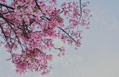 春櫻:IMGP4575-11.jpg