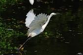 白鷺鷥與夜鷺及黃頭鷺:IMGP5493-11-1.jpg