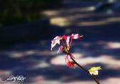 紅葉樹:楓香