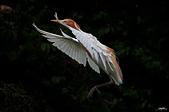 白鷺鷥與夜鷺及黃頭鷺:IMGP3150-1.jpg