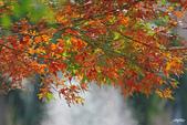 紅葉樹:IMGP7168-11.jpg