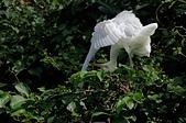 白鷺鷥與夜鷺及黃頭鷺:IMGP6369-11.jpg