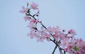 春櫻:IMGP4569-11.jpg