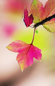紅葉樹:IMGP9174-11.jpg