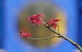 紅葉樹:IMGP3196-1.jpg