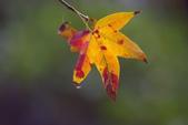 紅葉樹:IMGP0205-11.jpg
