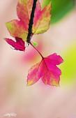 紅葉樹:IMGP9176-11.jpg