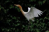 白鷺鷥與夜鷺及黃頭鷺:IMGP3149-11.jpg