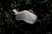 白鷺鷥與夜鷺及黃頭鷺:IMGP6569-1.jpg