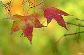 紅葉樹:IMG_1489-11.jpg