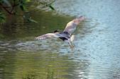白鷺鷥與夜鷺及黃頭鷺:IMGP1555-11.jpg
