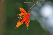 紅葉樹:IMGP9195-11.jpg