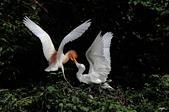 白鷺鷥與夜鷺及黃頭鷺:IMGP6290-1.jpg