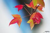 紅葉樹:IMGP9228-11.jpg