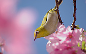 櫻、鳥:IMGP9543-11.jpg