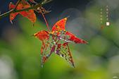 紅葉樹:IMGP4564-11.jpg