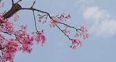 春櫻:IMGP4572-11.jpg