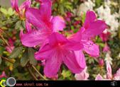 花草樹木- 小木本植物:杜鵑花