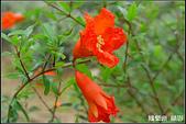花草樹木- 小木本植物:石榴花