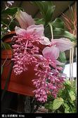 花草樹木- 小木本植物:寶蓮花