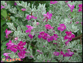 花草樹木- 小木本植物:紅花玉芙蓉
