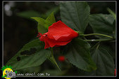 花草樹木- 小木本植物:南美朱槿(捲瓣朱槿)