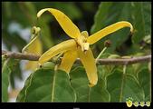 花草樹木- 小木本植物:香水樹