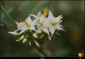 花草樹木- 小木本植物:萬桃花