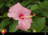 花草樹木- 小木本植物:單瓣朱槿(扶桑)