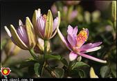 花草樹木- 小木本植物:水蓮木