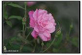 花草樹木- 小木本植物:薔薇花