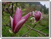 花草樹木- 小木本植物:木蓮