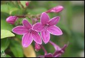 花草樹木- 小木本植物:紫雲杜鵑
