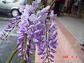 阿里山花季(很美哦):阿里花季.紫
