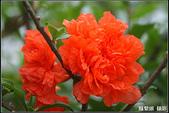 花草樹木- 小木本植物:重瓣石榴