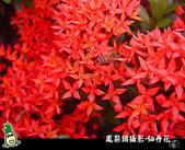 花草樹木- 小木本植物:矮仙丹