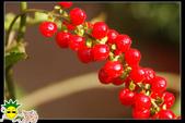 花草樹木- 小木本植物:數珠珊瑚