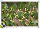 花草樹木- 小木本植物:馬甲子(牛公刺)