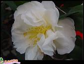 花草樹木- 小木本植物:茶花
