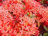 花草樹木- 小木本植物:仙丹