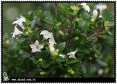 花草樹木- 小木本植物:六月雪